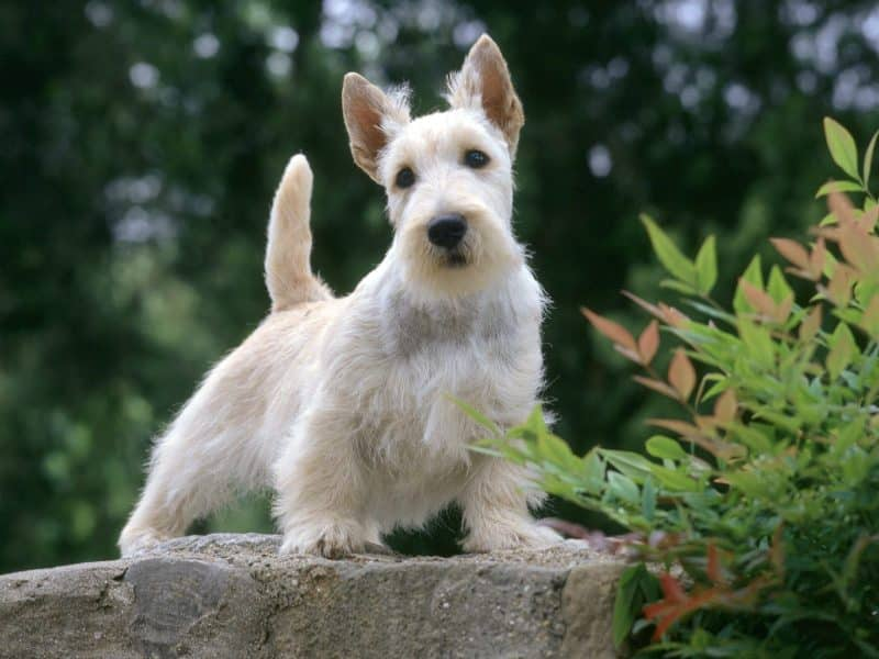 características del scottish terrier blanco