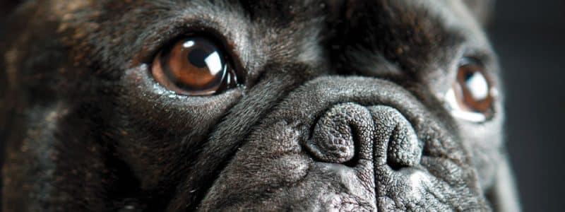 características generales del Bulldog Francés