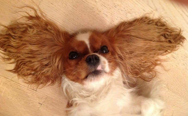 cavalier king charles spaniel descansando con orejas extendidas