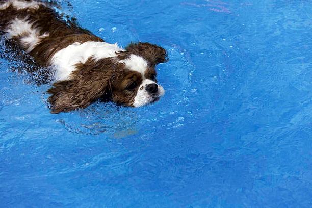 cavalier king charles spaniel nadando en una piscina