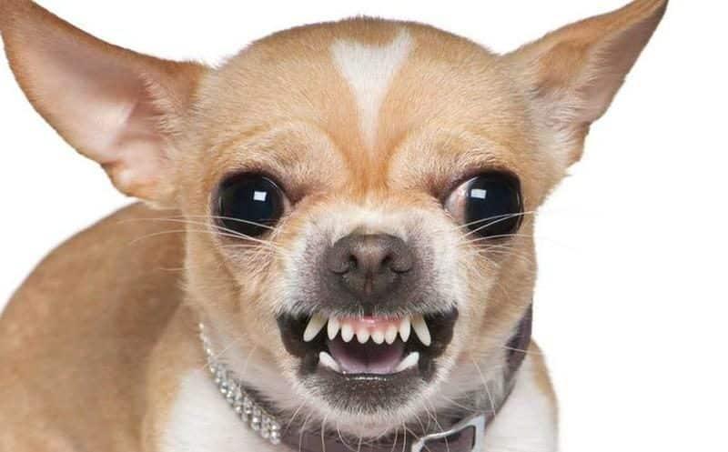 chihuahua enojado mostrando sus colmillos