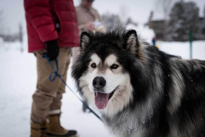como adiestrar a un Malamute de Alaska