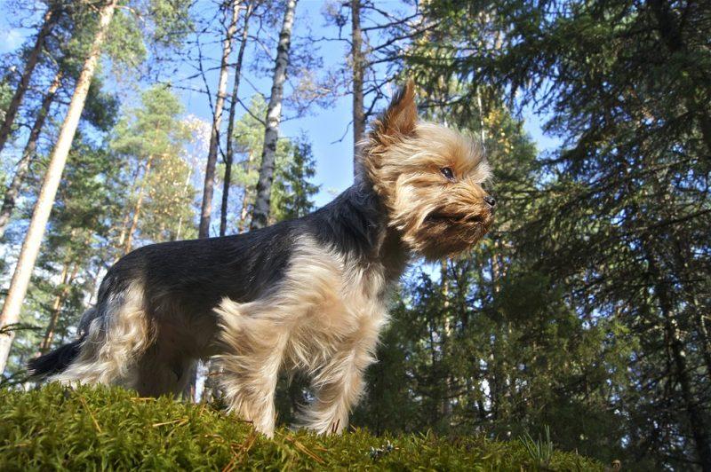 como adiestrar a un yorkshire terrier
