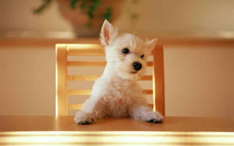 cómo alimentar a un west highland white terrier