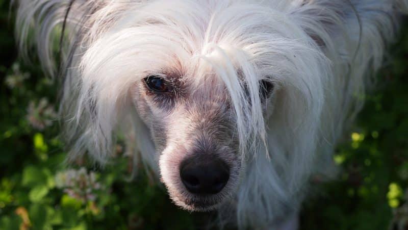 como cuidar perro crestado chino sin pelo
