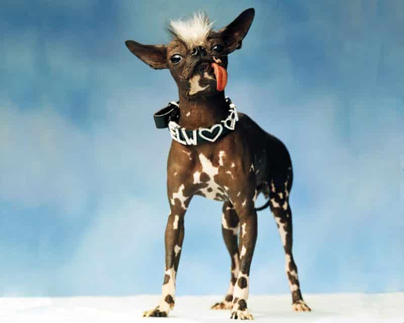 consejos para comprar un perro crestado chino