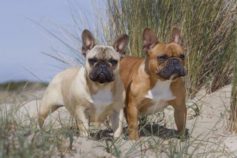 Cuando es el mejor momento de cruzar un Bulldog Francés