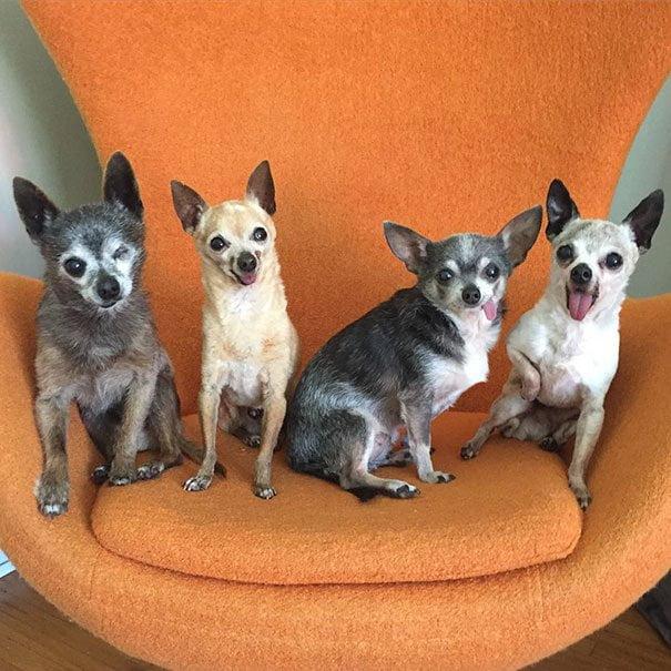cuatro ancianos perros chihuahuas en adopcion