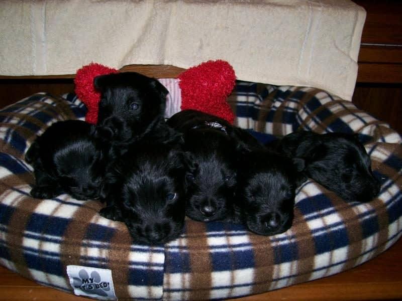 cuidado de cachorros terrier escoces