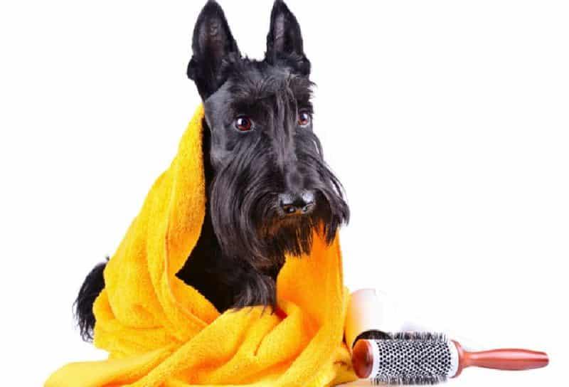 cuidados del scottish terrier
