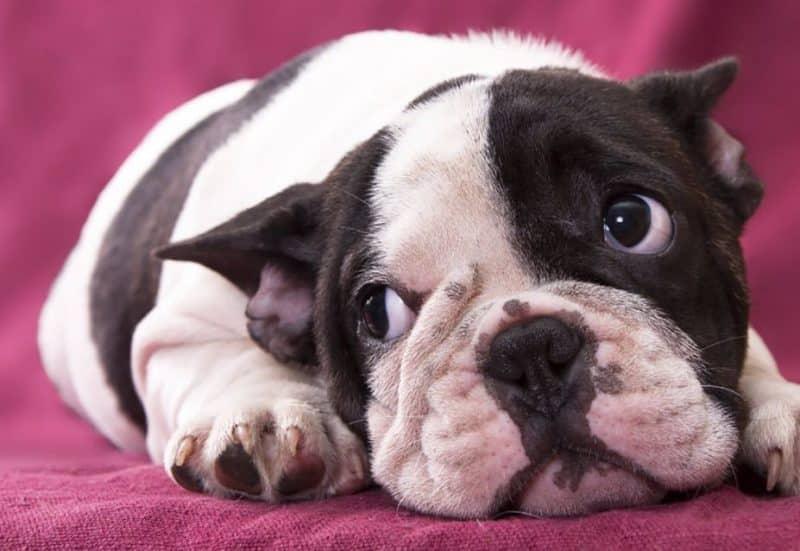 diferentes nombres del Bulldog Francés