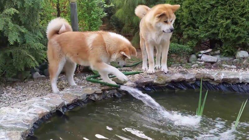dos Akita Inu jugando en una pileta