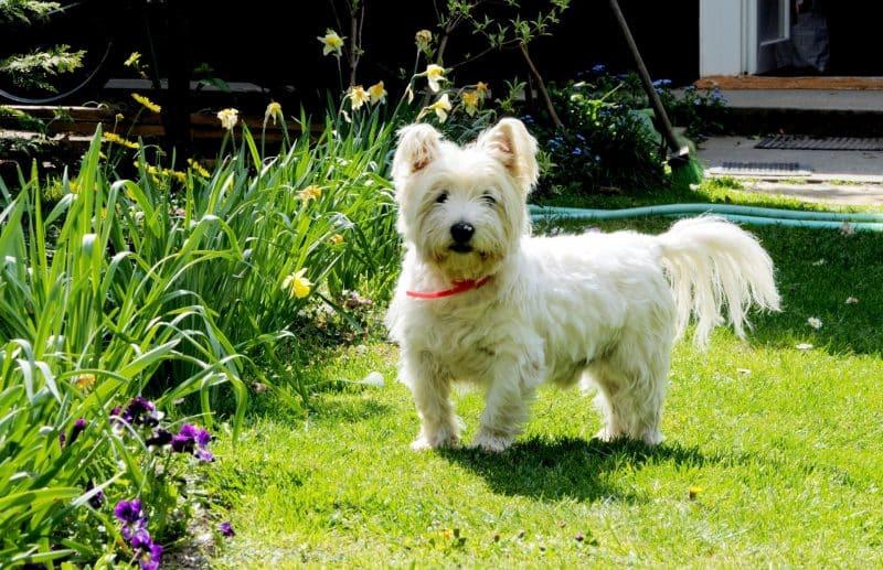ejercicios para el west highland white terrier