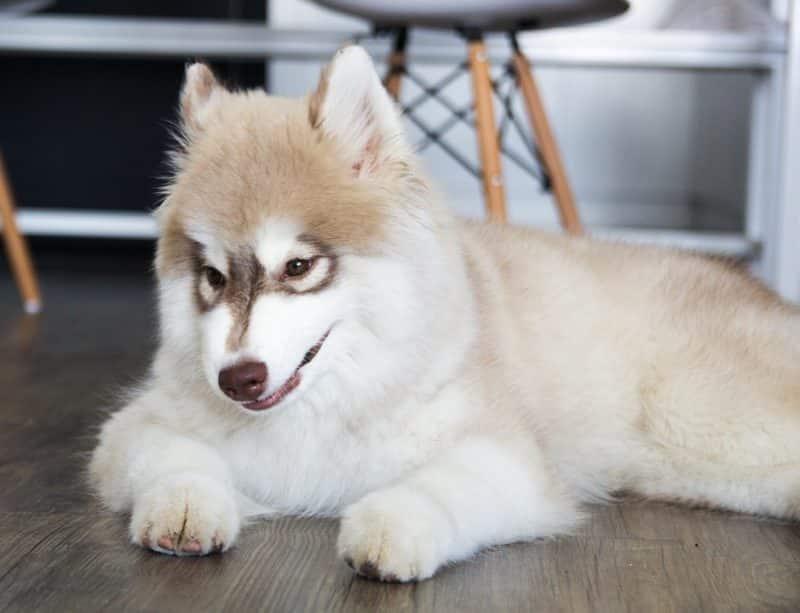 en qué fijarse al comprar un Husky Siberiano