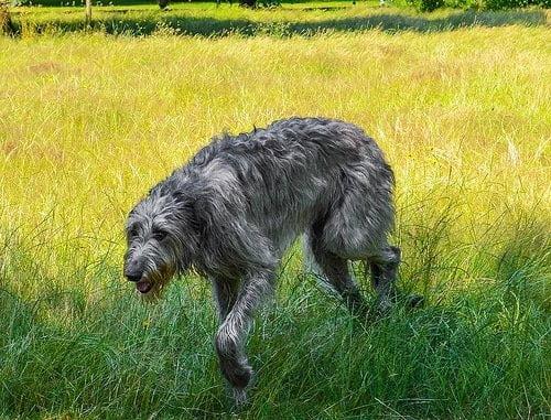 enfermedades comunes del lobero irlandes