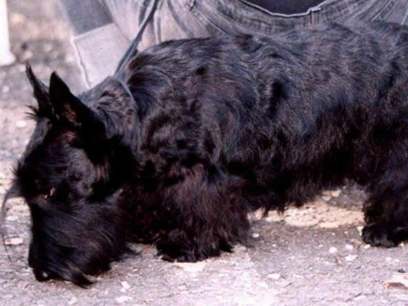 enfermedades comunes del scottish terrier