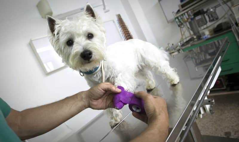 enfermedades comunes del west highland white terrier