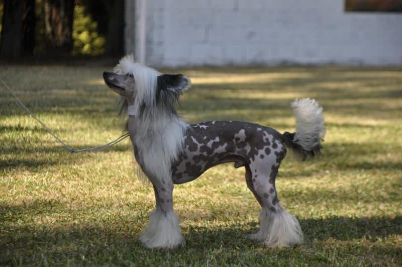 enfermedades del perro crestado chino