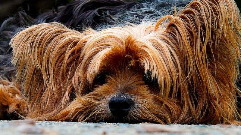 esperanza de vida del yorkshire terrier