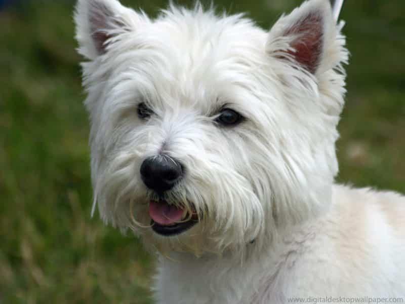 esperanza de vida west highland white terrier