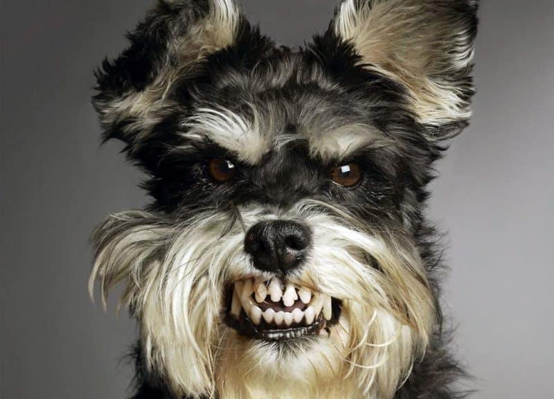 foto de la cabeza de un schnauzer miniatura enojado