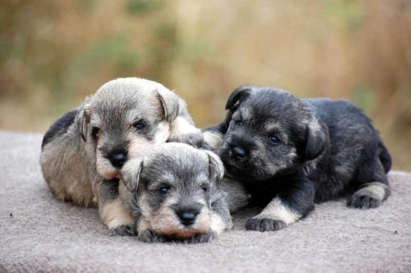 foto de tres cachorros schnauzer miniatura
