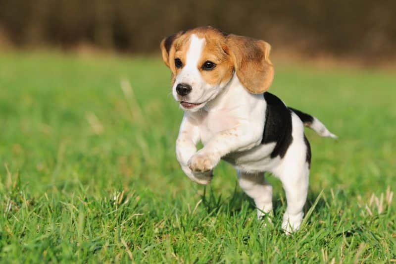 foto de un adorable cachorro Beagle corriendo