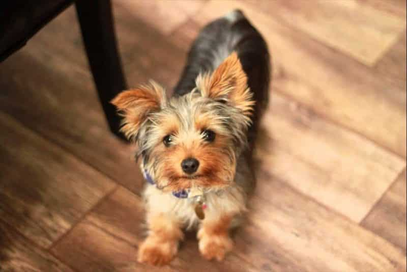 foto de un yorkshire terrier en una casa con piso laminado