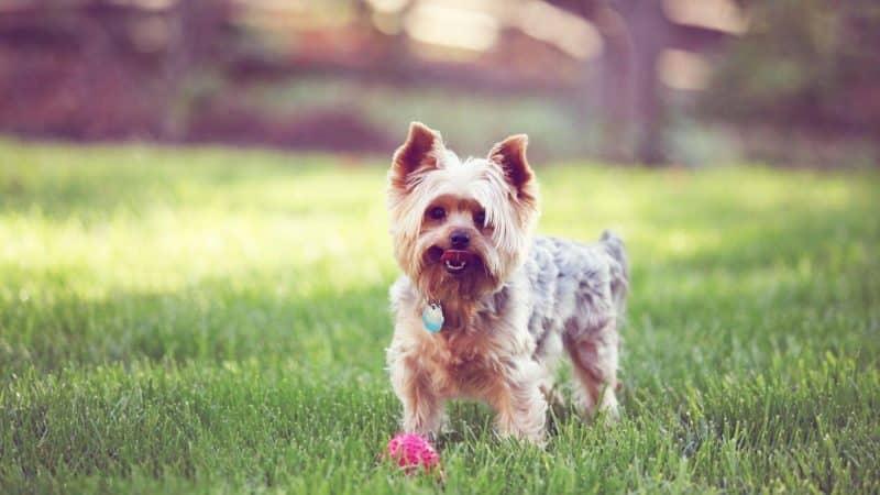 foto de yorkshire terrier parado sobre césped