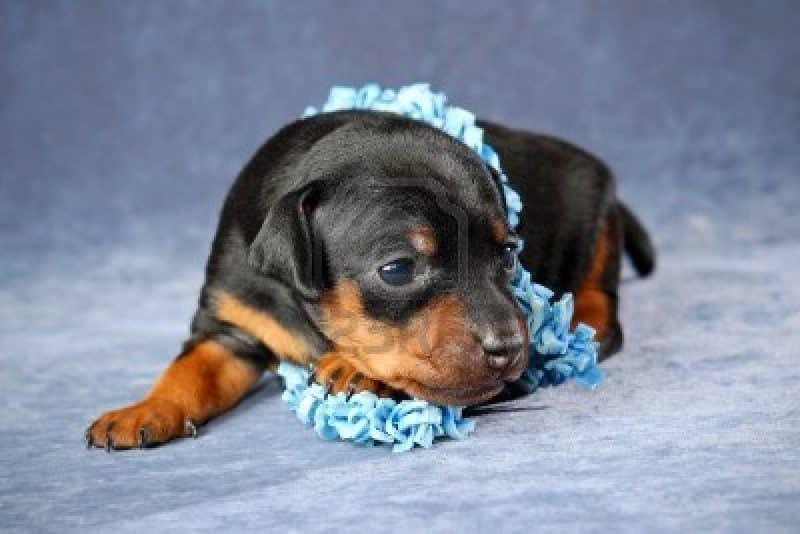 foto estudio de un cachorro pinscher miniatura