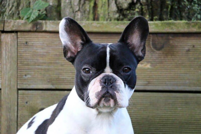 fotografía del rostro de un Boston Terrier