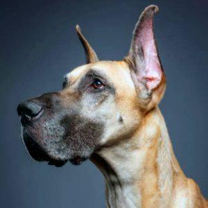 Gran Danés ( Dogo alemán)