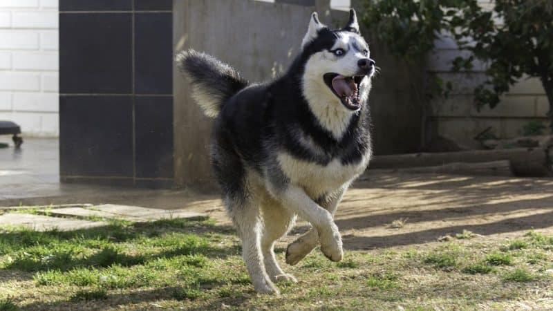 Husky Siberiano corriendo en un patio