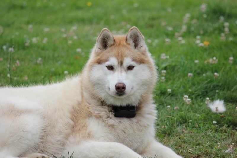 Husky Siberiano descansando sobre césped