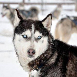 husky siberiano mirando al fotógrafo