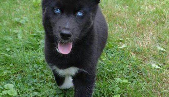 Husky Siberiano negro con manchas blancas