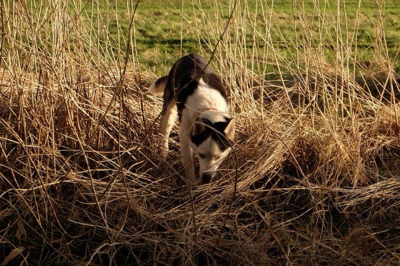 Husky Siberiano rastreando