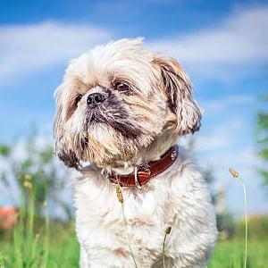 Todo sobre el perro Shih Tzu: Todos los tipos, precios, cuidados, temperamento, características, cachorros, fotos y mucho más