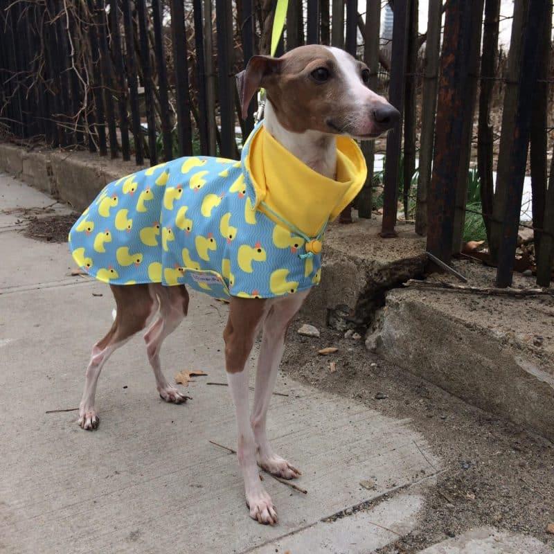 lebrel italiano enano modelando ropa para perros con diseño de pacman