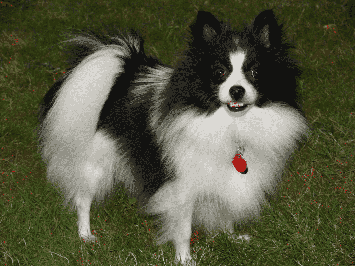 lulu de pomerania de manto bicolor negro y blanco sobre césped