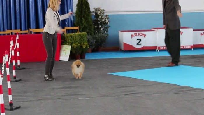 lulu de pomerania en medio de un certamen canino