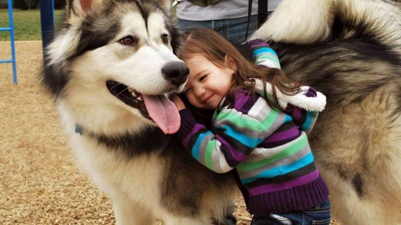 malamute de alaska y niños