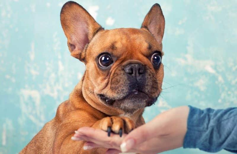 Manera correcta de adiestrar a un Bulldog Francés