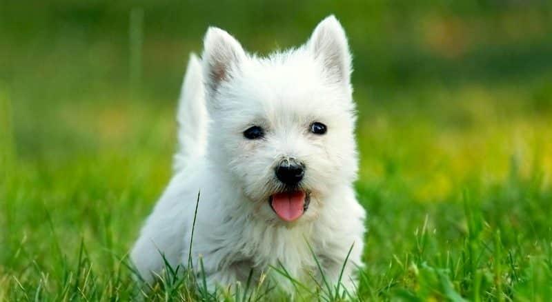 Otros nombres del west highland white terrier