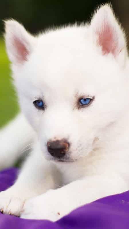pequeño cachorro blanco Husky Siberiano
