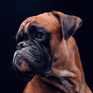 Bóxer Alemán (Perro)