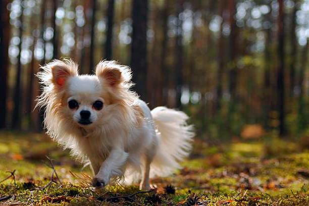 ᐅ Todo Sobre El Perro Chihuahua Tipos Imágenes Cuidados