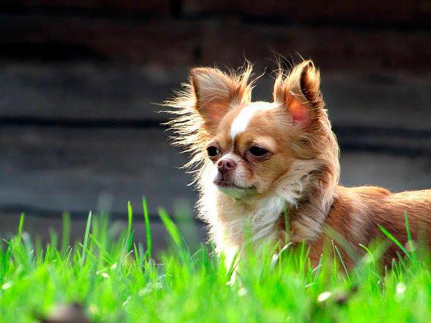 perro chihuahua observando la inmensidad sobre el césped