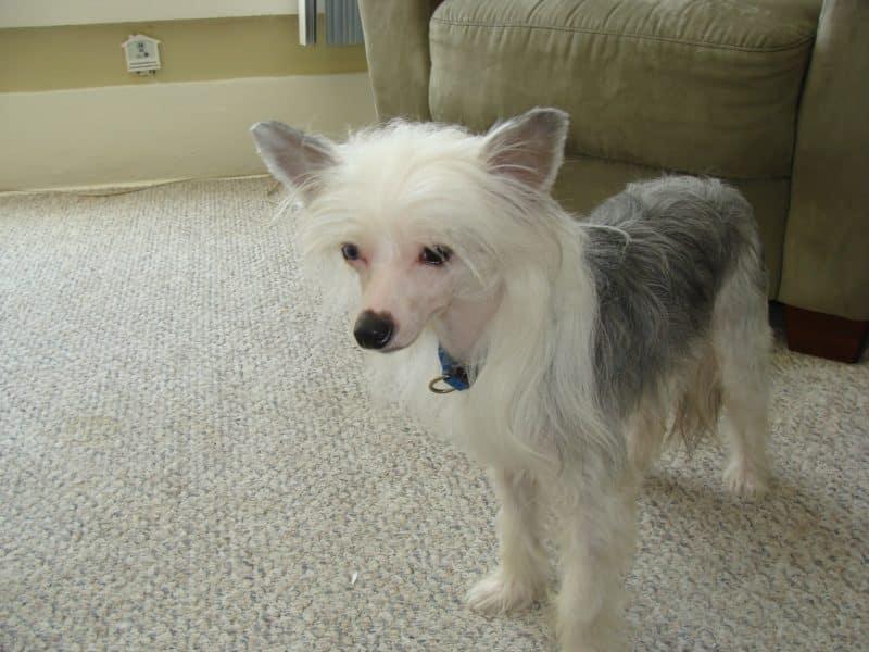 perro crestado chino en interior casa