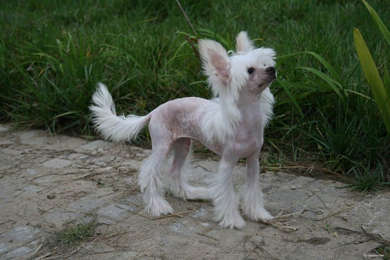 perro crestado chino en un jardin